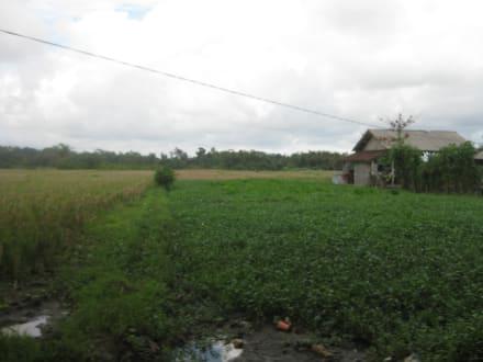 Reisfelder - Tour & Ausflug