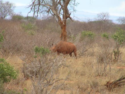 Nashorn - Tsavo West Nationalpark