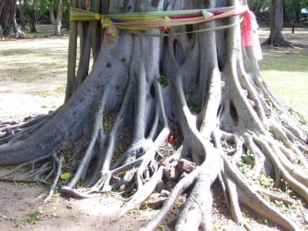 Verwurzelt - Khmer Tempel