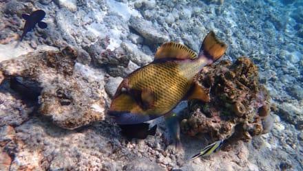 Hausriff - Schnorcheln Süd-Malé-Atoll