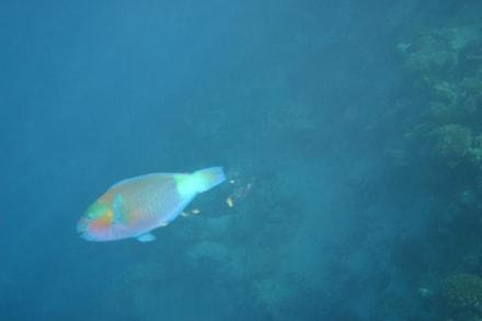 Papageienfisch - Schnorcheln Hurghada