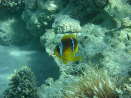 Korallenfisch - Schnorcheln Coraya Bay Marsa Alam