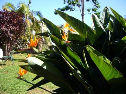 Strelizien - Jardín Acuático Risco Bello