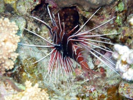 Rotfeuerfisch am Hausriff - Tauchen Sharm el Sheikh
