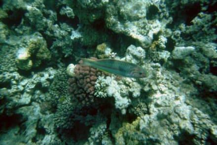 Fisch in Hurghada - Schnorcheln Hurghada