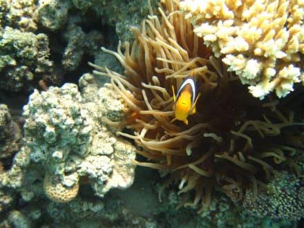 Habe Nemo gefunden - Schnorcheln Makadi Bay