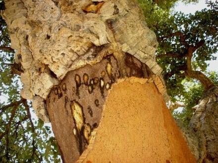 Korkeichen - Korkeichen des Roussillon