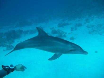 Delphine - Tauchen Hurghada