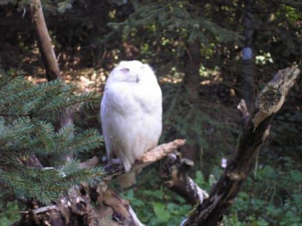 Schnee Eule - Affen- und Vogelpark
