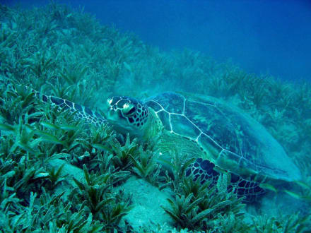 Schildkröte am Hausriff - Tauchen Brayka Bay Marsa Alam