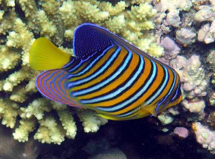 Kaiserfisch - Schnorcheln Makadi Bay