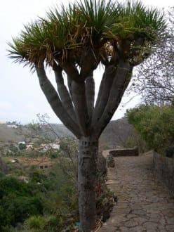 Drachenbaum im Jardin Botanico - Botanischer Garten Jardin Canario