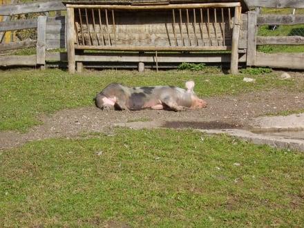 Glückliches Schwein in St. Vigil - Wandern St. Vigil in Enneberg