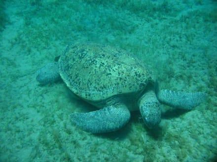 Schildkröte - Tauchen El Quseir