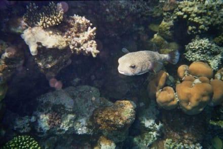 Kugelfisch - Tauchen Marsa Alam