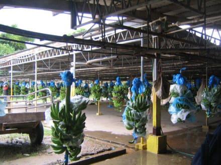 Bananenplantage - Bananenplantage