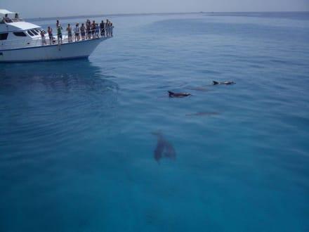 Delphine vor der Insel Mahmya - Tauchsafari King Snefro Spiri Hurghada