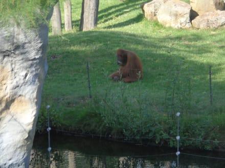 Freigehege Orang-Utan - ZOOM Erlebniswelt Gelsenkirchen (Zoo)