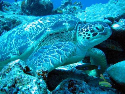 Suppenschildkröte - Aeolus Dive Fihalhohi