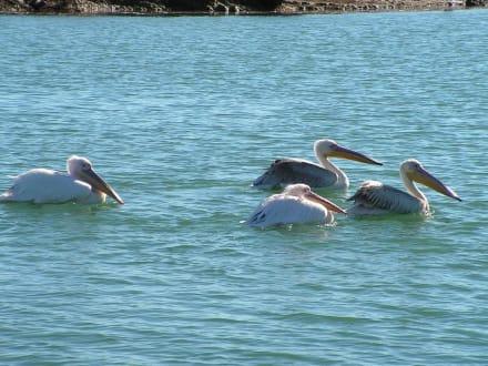 Pelikane - Flussfahrt Manavgat