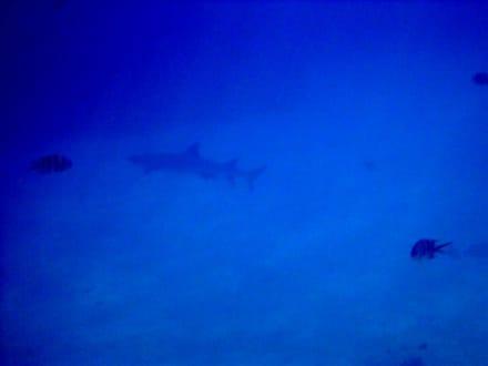 Ein Weisspitzenriffhai am Hausriff beim Schnorcheln! Echt ei - Schnorcheln Sharm el Sheikh