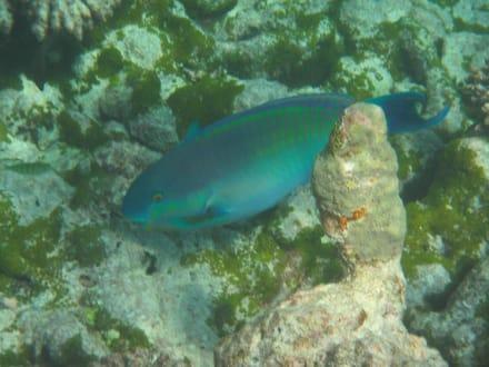 Papageifisch - Schnorcheln Hausriff Summer Island Village Nord-Malé-Atoll