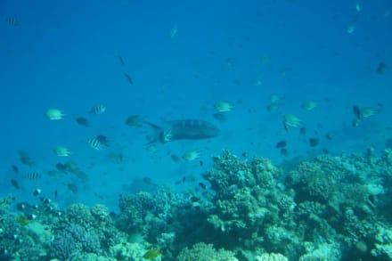 Unterwasserwelt des Roten Meeres - Schnorcheln Safaga