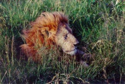 Der König der Tiere, mal ganz nah... - Amboseli Nationalpark