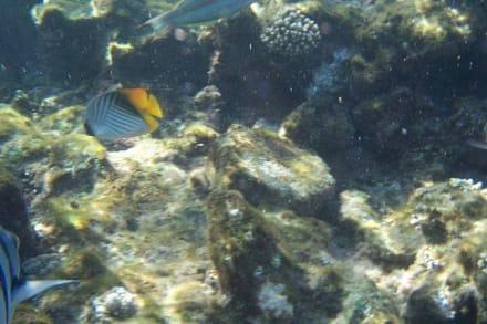 Fähnchenfalterfisch - Schnorcheln Sharm el Sheikh