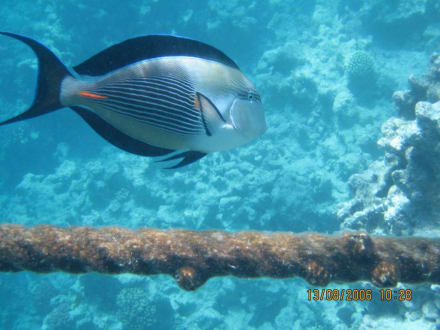 fische - Giftun / Mahmya Inseln