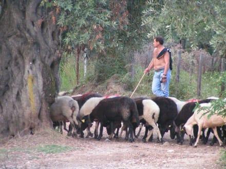 Hirte und seine Herde - Inselrundfahrt