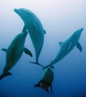 Delfine am Mövenpick / Subex Hausriff - Tauchen El Quseir