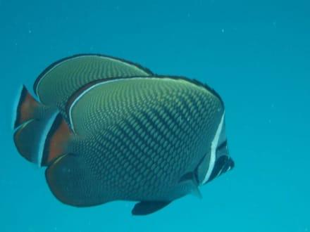 Falterfische - Unterwasser