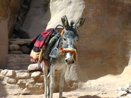 Tierische Aufstiegshilfe - Felsenstadt Petra