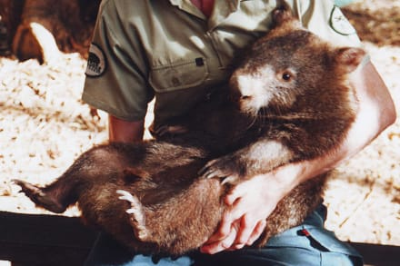 Wombat - Billabong Sanctuary
