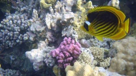 Tabak-Falterfisch - Schnorcheln Makadi Bay