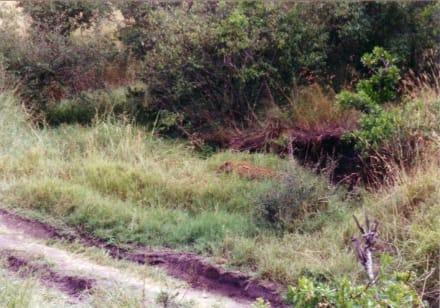 der einzige Leopard - Masai Mara Safari