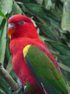 rot-grüner Papagei - Bali Bird Park
