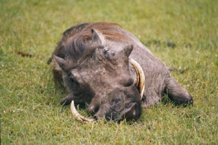 Warzenschwein - Masai Mara Safari