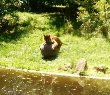 Tiger - Zoo Augsburg