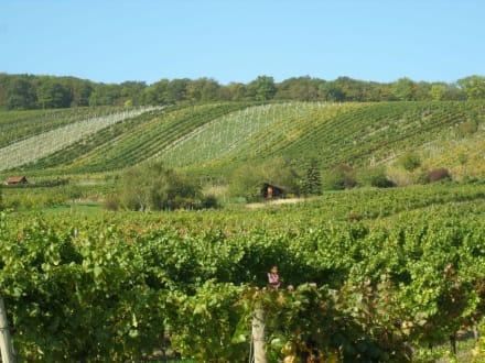Weinfelder in Neustift am Walde - Neustifter Weingärten