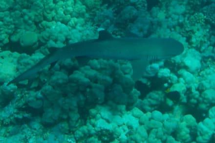 Weißspitzenriffhai - Hausriff Hotel Lahami Bay Berenice