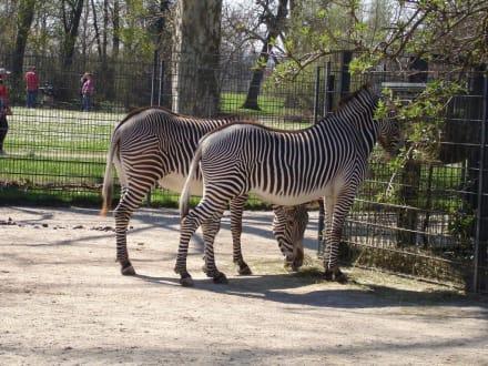 Zebras in Wilhelma Zoo - Wilhelma