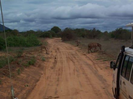 Zebras - Tsavo Ost Nationalpark