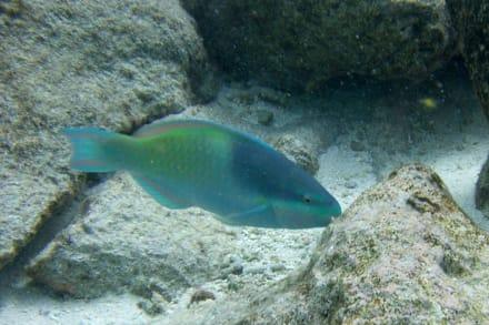 Papageifisch - Unterwasser