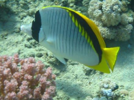 Gestreifter Riesen-Falterfisch - Schnorcheln Makadi Bay