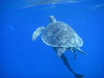 Schildkröte - Tauchen Abu Dabab
