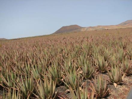 Aloe Vera - Vulkankrater