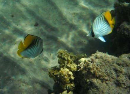 Hausriff Beach Albatros Resort - Schnorcheln Hausriff Beach Albatros Palace Resort Hurghada