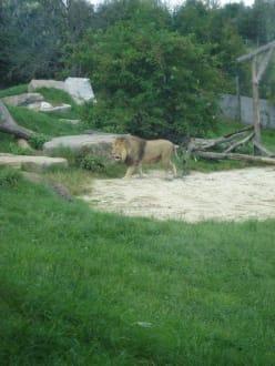 Löwe - Tierwelt Herberstein